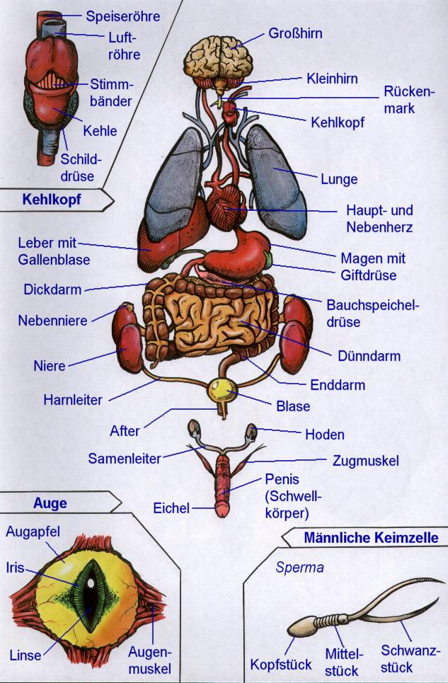 Atemberaubend Menschliches Organ Tabelle Zeitgenössisch - Anatomie ...