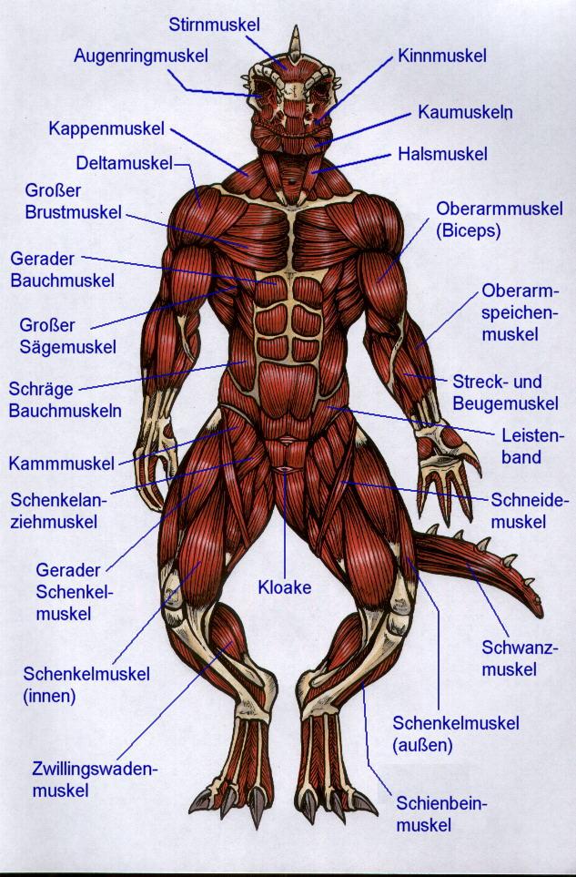 Erfreut Anatomie Muskeln Test Zeitgenössisch - Menschliche Anatomie ...
